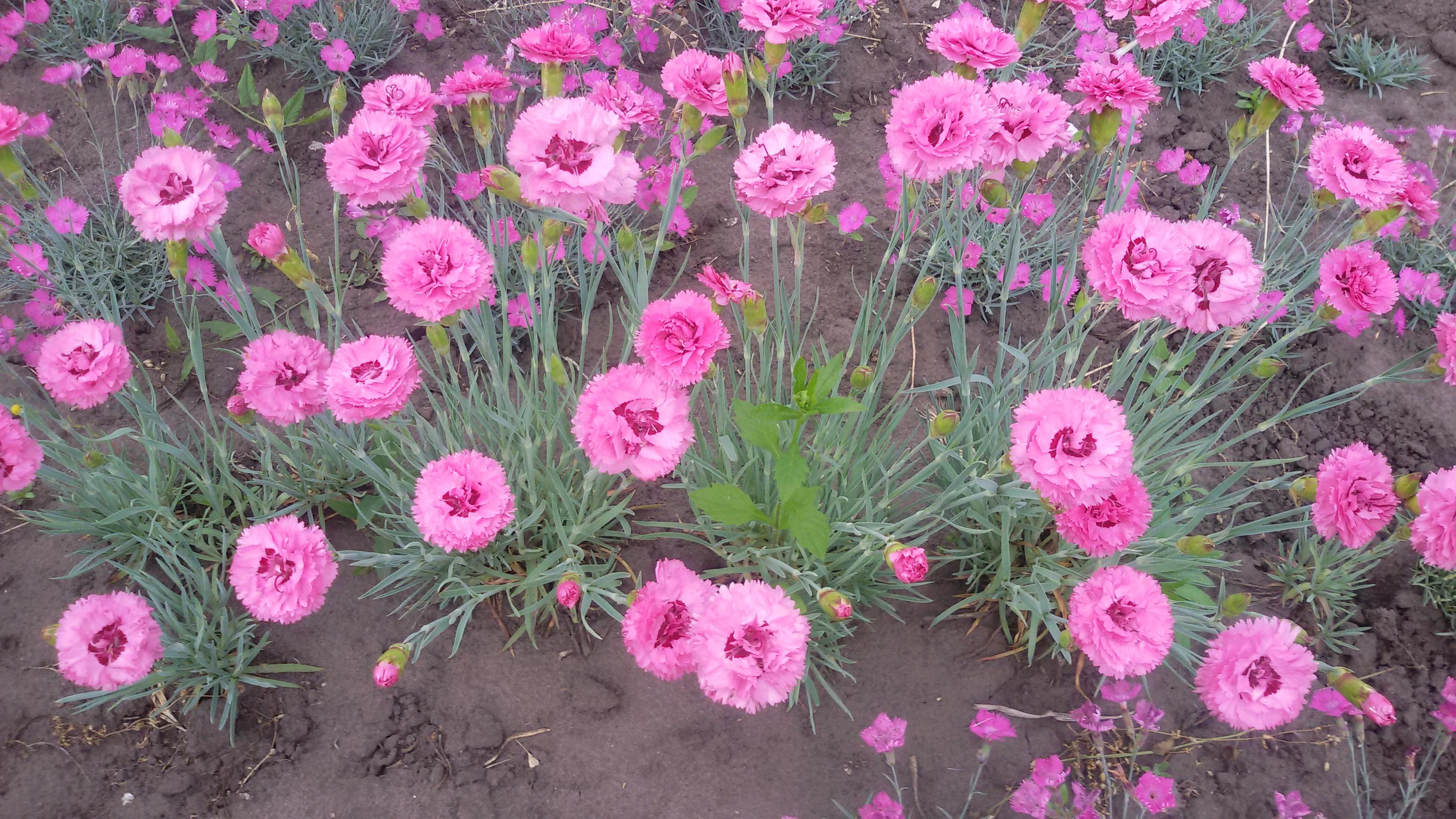 Цветок гвоздика виды фото