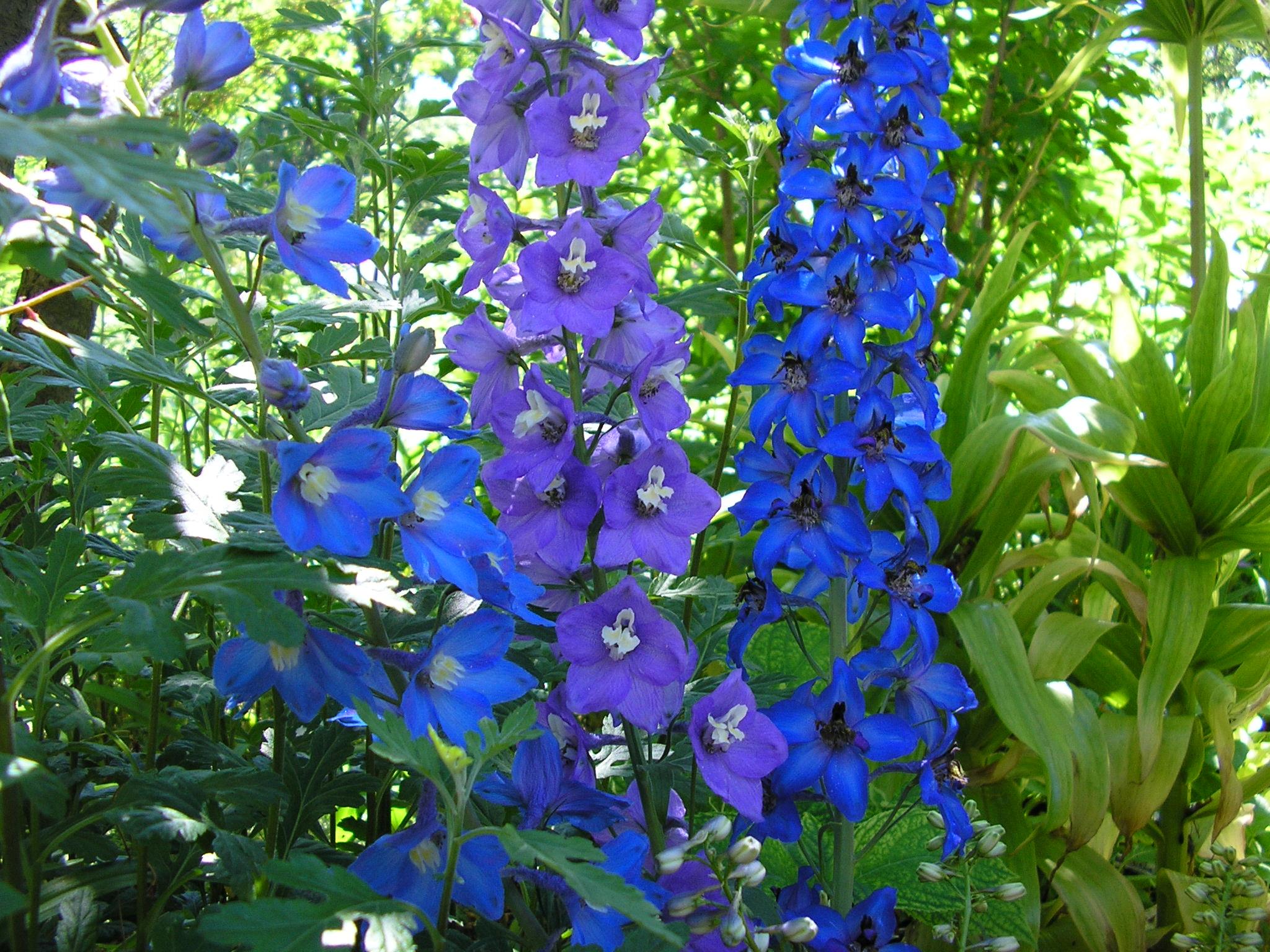 Высокие синие цветы названия и фото