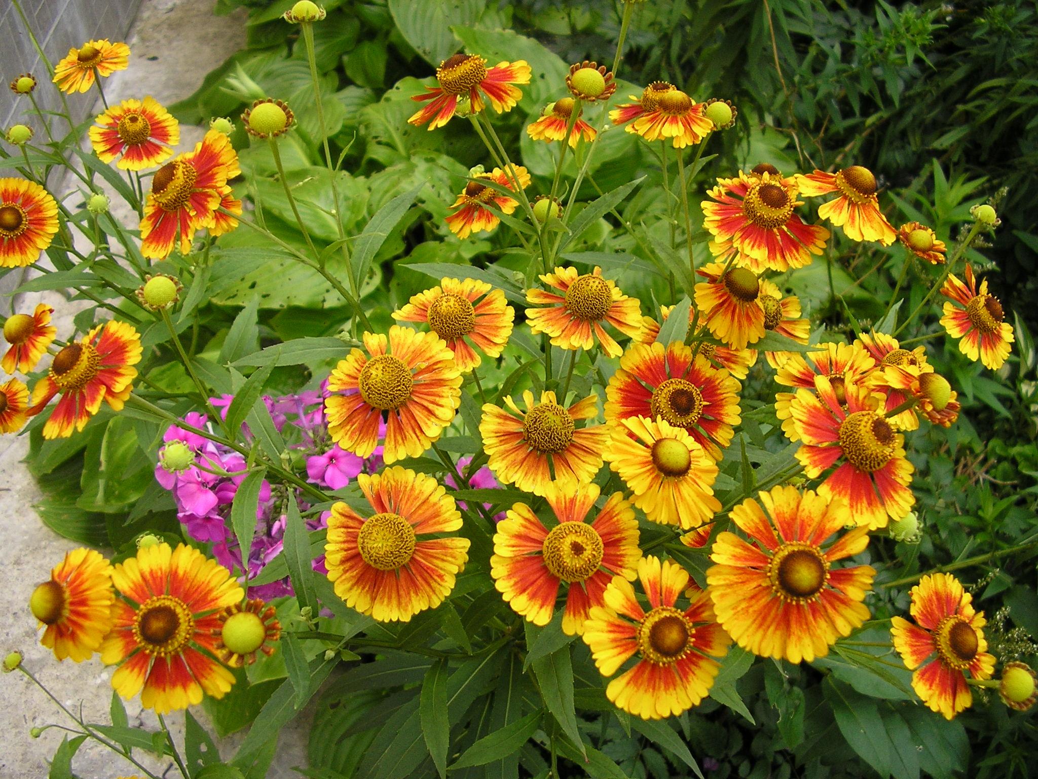 Гелениум цветок фото и описание