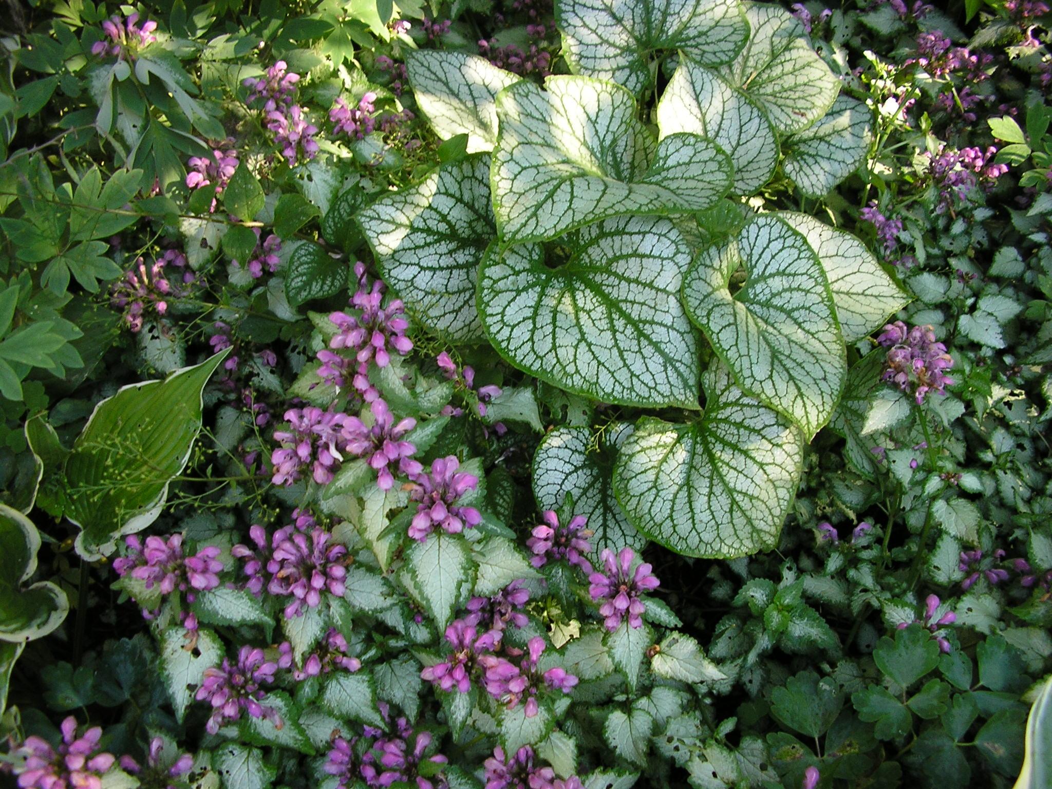 Яснотка фото описание цветов